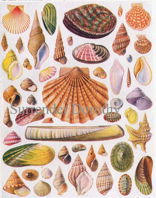 Shells Of The World Lithograph Chart 1928