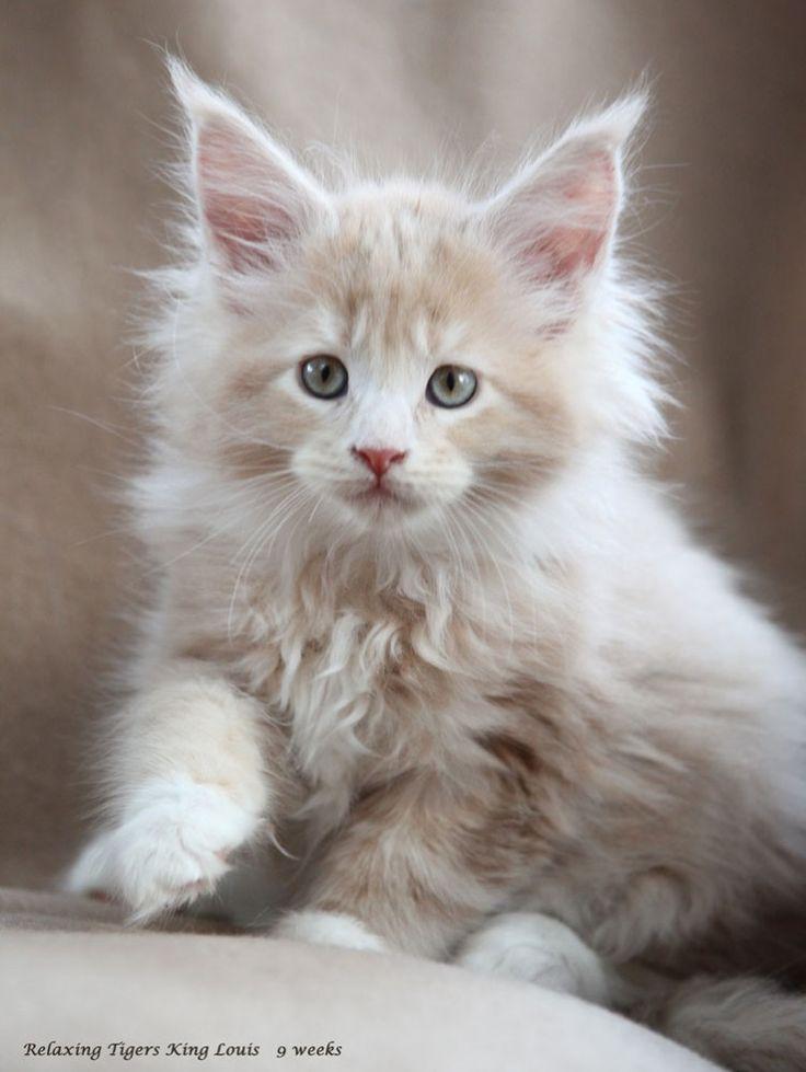 Maine Coon Kittens In Rhode Island