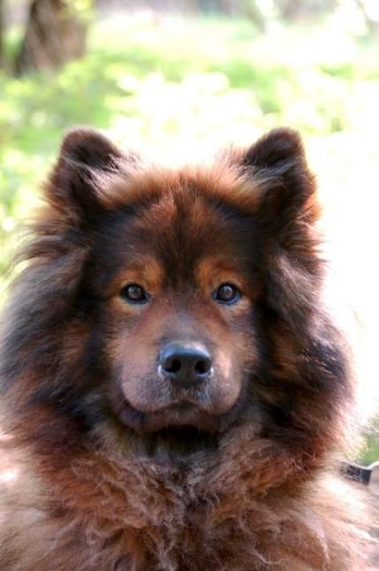Eurasier dog breed. Can't wait to have more of these in the U.S. Would love to have one!