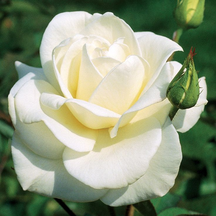 John F Kennedy Hybrid Tea Rose Rosas Rosa Blanca Y Flores
