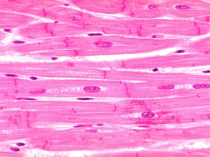 cardiac muscle tissue - Google Search