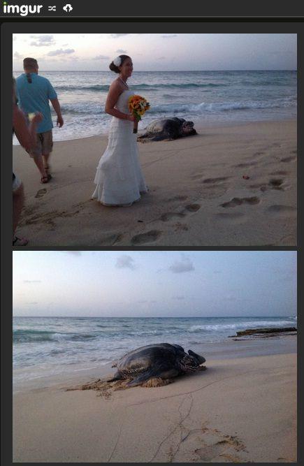 """O casamento de Jason e Kate, nas areias de St. Croix (Ilhas Virgens, EUA), teve um """"convidado"""" inesperado no último domingo (18/5). Uma tartaruga marinha surgiu como penetra na cerimônia realizada ao ar livre."""