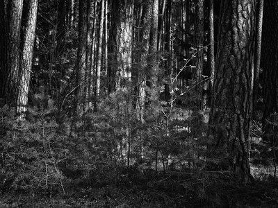bwstock.photography - photo | free download black and white photos  //  #pine #forest