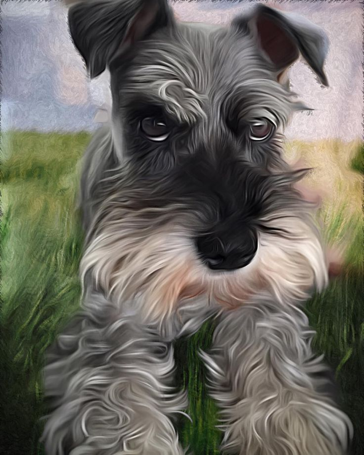 All IC. This is Jack Miniature Schnauzer. I'm baby sitting two of these boys for the next few weeks. I have captured so many cute photos but thought I'd turn this one into something a bit artistic. Hope you enjoy.  #arttherapy #iColorama #digiart #digipaint #digitalart #art #mobileart #iphoneedit #iphoneart #ipadart #paint #iphoneogtaphy #bradspics #minatureschnauzer @schnauzerscruffs by rocketman81