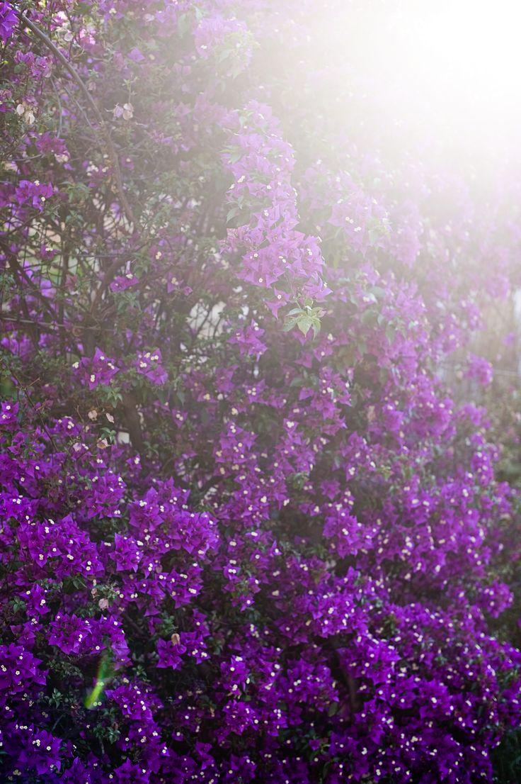Bougainvillea bush in Cullinen, South Africa