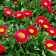 Bellis Pomponette Red (9cm Pot)