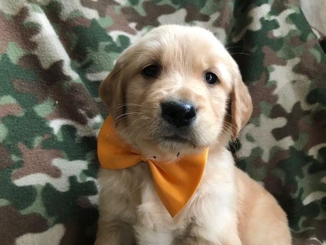 Golden Retriever Puppy For Sale In Quarryville Pa Adn 58777 On Puppyfinder Com Gender Male Age 11 Golden Retriever Puppies For Sale Golden Retriever Puppy