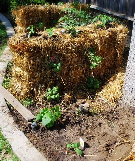 17 best images about straw bale gardening on pinterest gardens raised beds and plants for Best plants for straw bale gardening