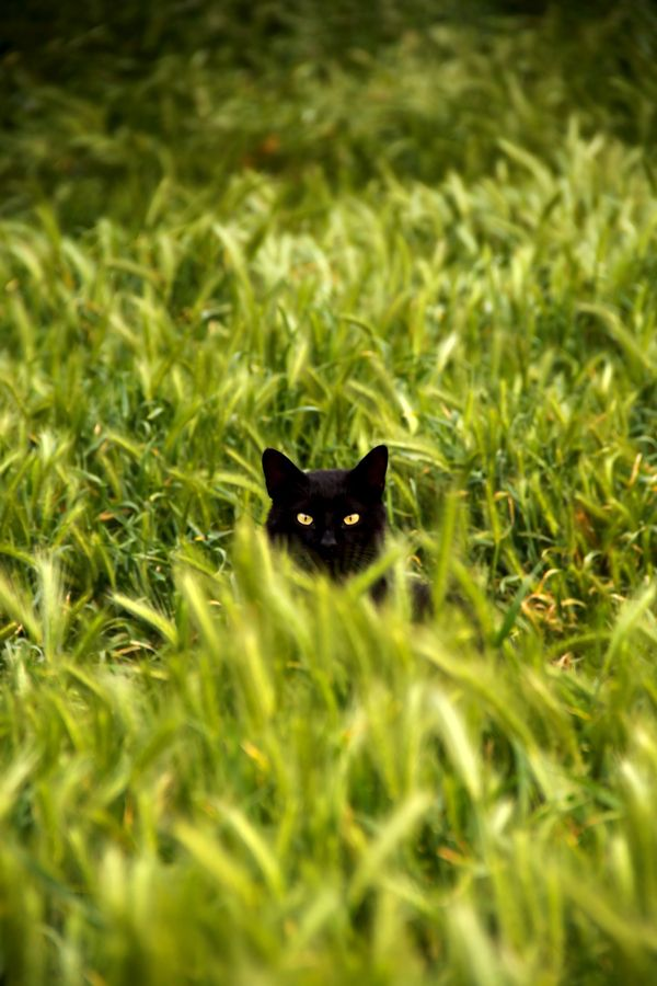 This cat's eyes match the grass.