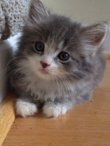 Cute Fluffy Grey and White Kitten