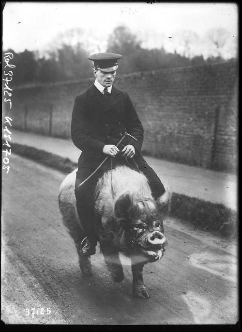 Man riding a pig at Wingfield's Menagerie, England, early 1900s