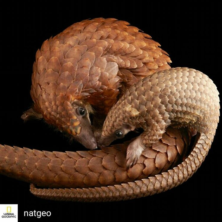 Credit to @natgeo : Images by @joelsartore | A juvenile and mother white bellied tree pangolin at the Pangolin Conservation in St. Augustine, FL (swipe to see more images). This juvenile is only 70 days old and is the first of her species to be bred in captivity. Frustratingly, certain cultures, including that of traditional Chinese medicine, falsely believe the pangolin's unique protective keratin scales (made of the same material as your fingernails) have curative properties. Because of…