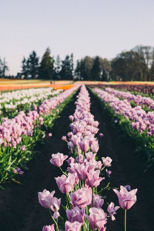 Wooden shoe tulip festival 45 minutes from Portland