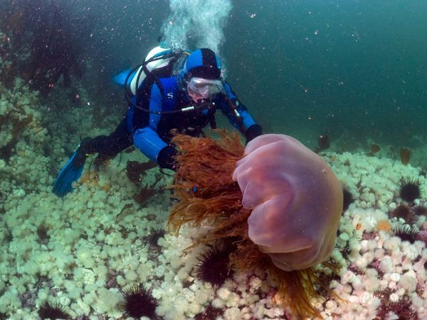 "A curious yet cautious diver approaches a lion's mane jellyfish off the British Columbia coast. The tentacles that make up this jelly's ""mane"" can deliver a painful and even potentially fatal sting. But such toxins don't deter several fish species from feeding on the ample bulk of the cold water-loving jellyfish."