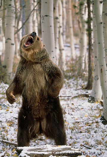 Grizzly bear standing in the woods