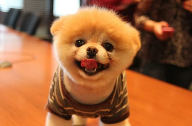 Boo the adorable