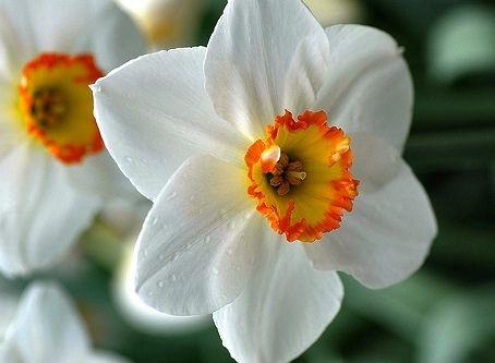Daffodil Bulbs For Sale | Buy Daffodil Bulbs in Bulk