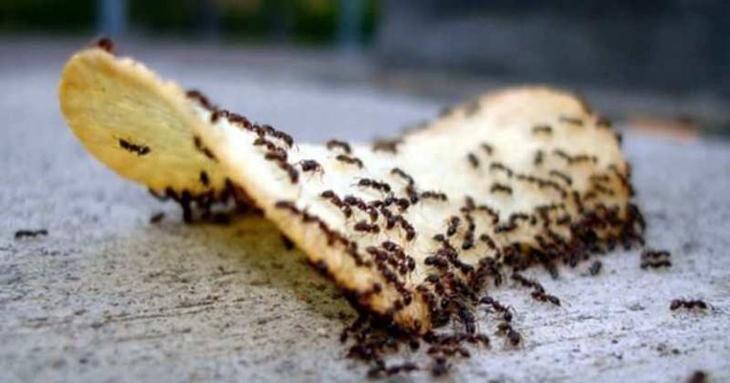 Завелись муравьи: как бороться народными средствами?