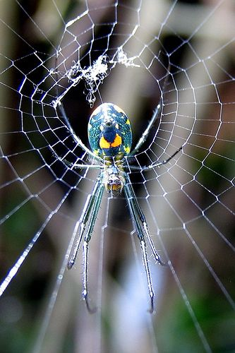 Spider It would seem that this is - by far - my most repinned pin...