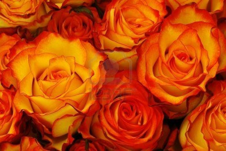 """my favourite colour of rose. One meaning of the orange rose is """"fascination, and are indicative of the all consuming fire of passion and desire."""" ~ Danielle"""