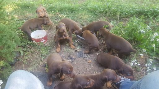 Litter of 9 Doberman Pinscher puppies for sale in ASHVILLE, NY. ADN-38309 on PuppyFinder.com Gender: Male(s) and Female(s). Age: 4 Weeks Old