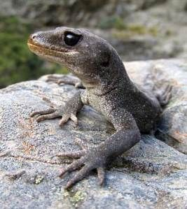 Tony Whitaker named and wrote the formal description for the black-eyed gecko. Tony was a herpetologist (studied reptiles and amphibians) and passionate advocate for conservation of, and research on, lizards. He passed away in February 2014. He was a great friend of the Department.