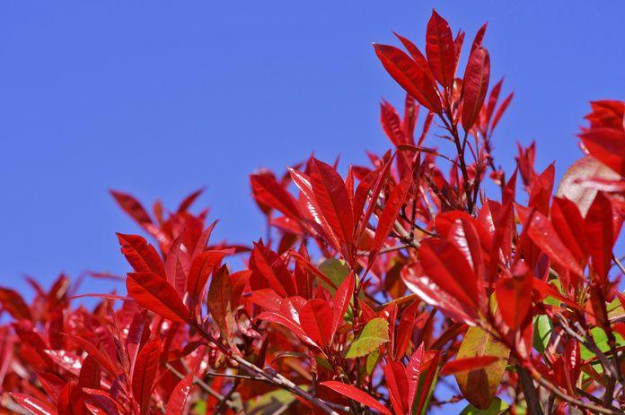 レッドロビンは別名ベニカナメモチといい、オオカナメモチとカナメモチの交配によって生まれたバラ科、カナメモチ属の高木です。強い刈り込みにも耐え、光沢のある葉と濃い赤色の新芽が美しい生垣に適した樹木です。 #レッドロビン #ベニカナメモチ #植栽 #庭木