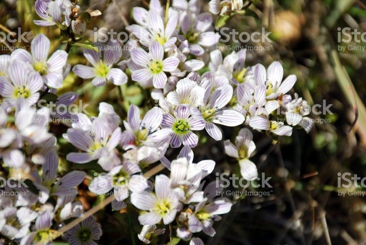 White Gentian Flower - Gentianella Patula royalty-free stock photo