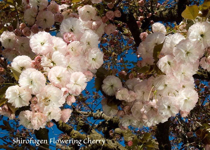 Dave Wilson Nursery Flowers Bloom Blossom