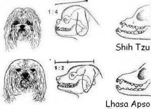 . Diferencias Lhasa Apso X Shih Tzu. ~ Las estrellas que flotan PERRERA - Shih Tzus
