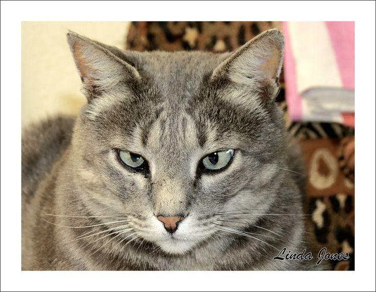 Ginelli- grey cat