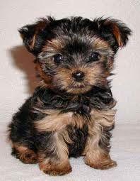 Miniature Yorkie. So. Adorable.