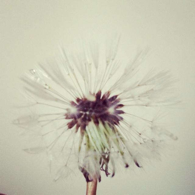 Dandelion & raindrops (I took this photo)