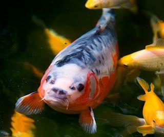 Live Koi Fish for Sale in Cebu , Goldfish for Sale in Cebu: #Shusui #giobelkoicenter