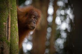 Sumatran Oranutan, Gunung Leuser National Park, Indonesia