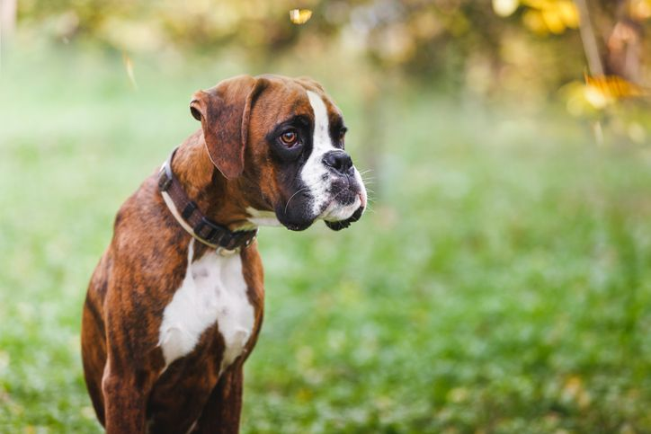 10 Popular Dog Breeds Prone To Serious Health Issues Expensive Dogs Most Expensive Dog Boxer Dogs