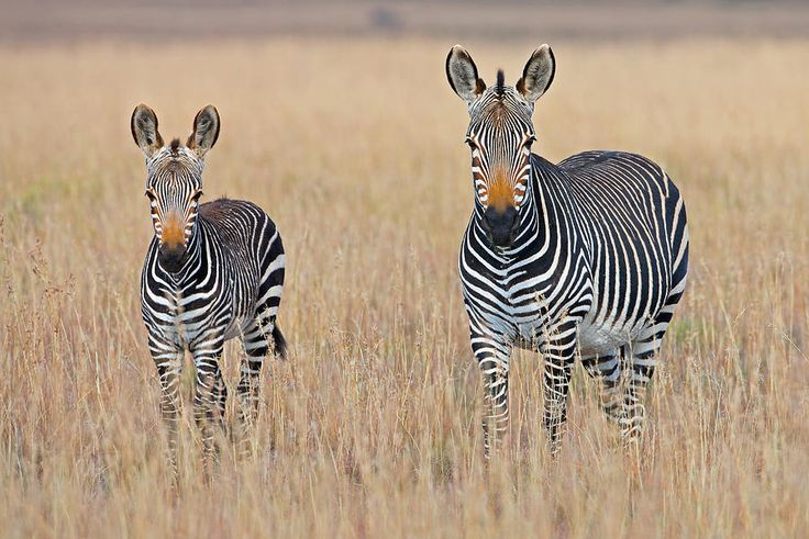 Plains Zebra (equus Quagga) With Foal In Grasslands, Mountain Zebra National Park, Eastern Cape Province, South Africa Photograph