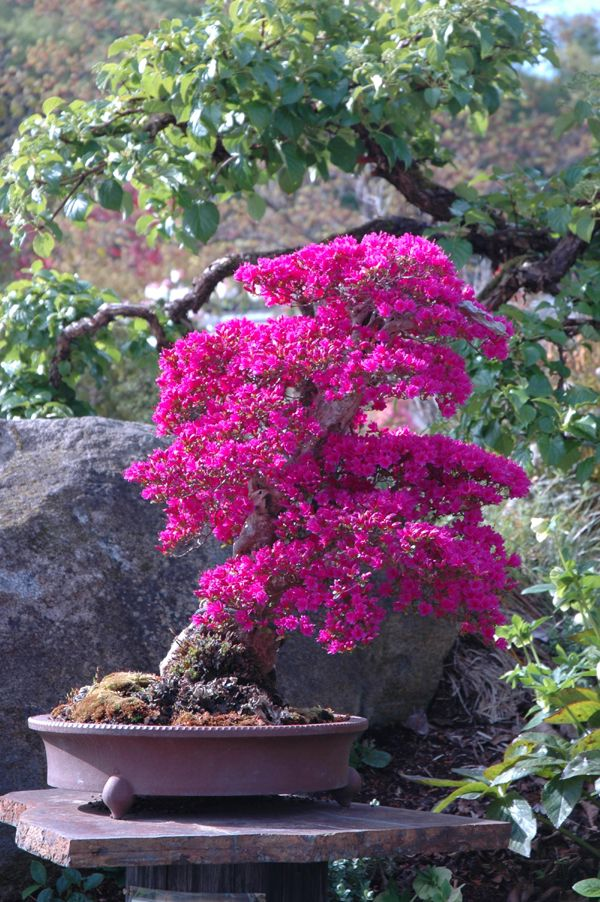 ~~Azalea Bonsai in full bloom | Dan Robinson~~  Gorgeous...just imagine the patience it took to train this...