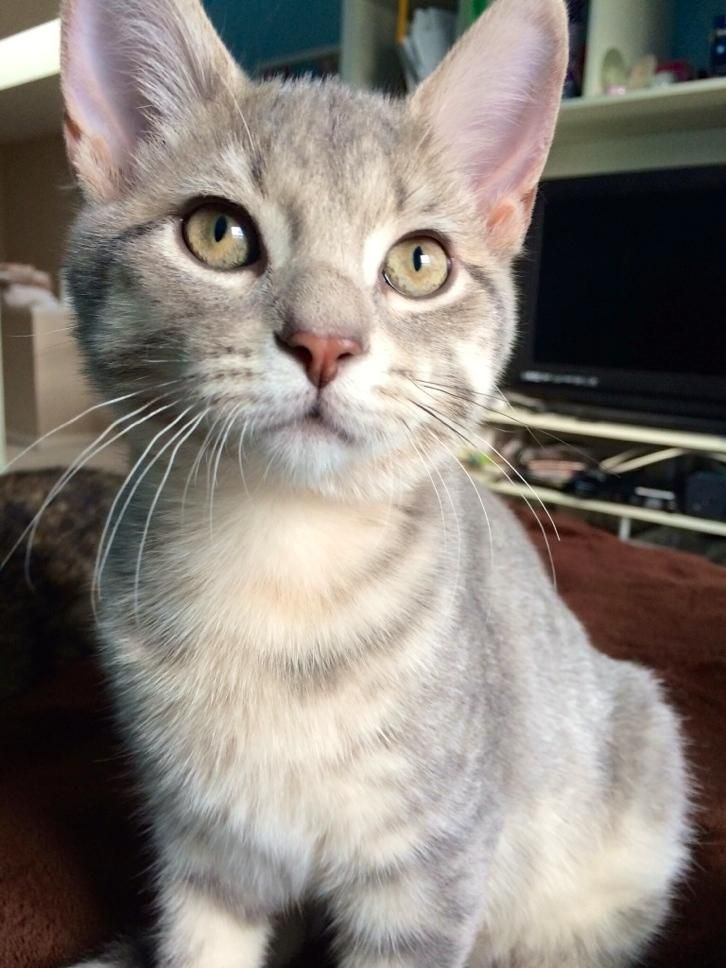 Tabby Cats Grey Meet Snow A Petfinder Adoptable Domestic Short Hair Cat St Charles Il Snow Is A Shy But Swe Tabby Cat Grey Tabby Cats Orange Tabby Cats
