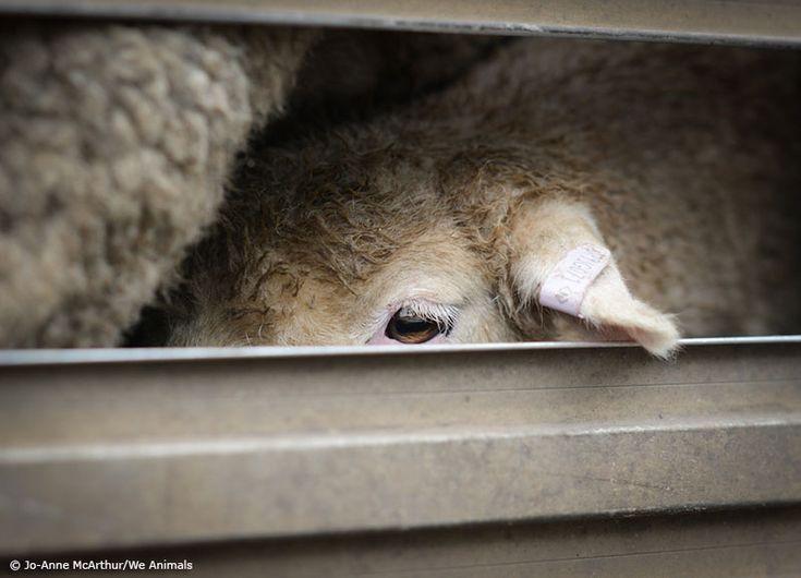 The Hidden Lives of Australian Sheep | Action Alerts | Actions | PETA