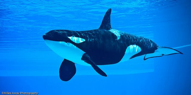 submerged killer whale - photo #6
