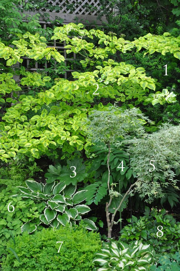 1. Yew 2. Golden Shadows Pagoda Dogwood 3. May Apple, Podophyllum peltatum which is a native plant. 4. Solomon Seal, Polygonatum 5. 'Butterfly' Japanese Maple 6. Astilbe 7. Astilbe 8. Astilbe