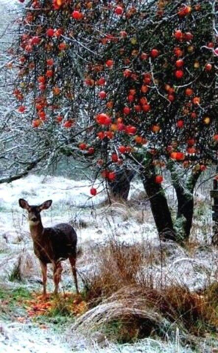 Snow_Deer_Red_Apples