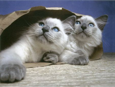 Lilac Point Birman Cats
