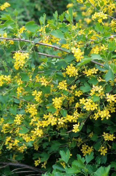 1000 Images About Shrubs For Rocky Mountain Landscapes On