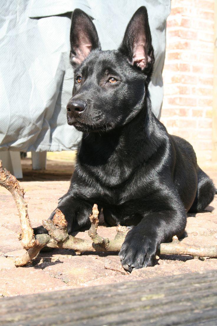Black malinois puppy
