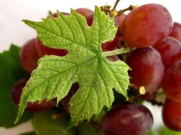 Análisis demostró que el resveratol, presente en las uvas rojas, y el pterostilbeno, hallado en los arándanos, contribuyen a reforzar el sistema inmunitario innato de los seres humanos.