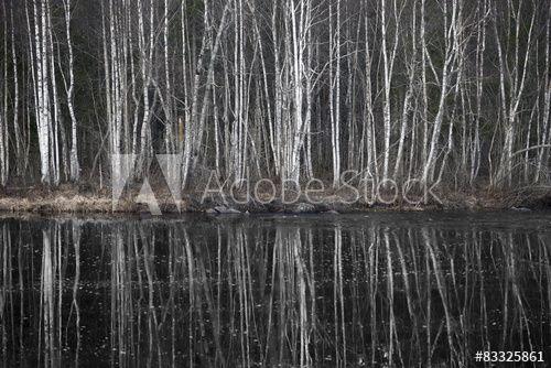 Birch trees by dark river