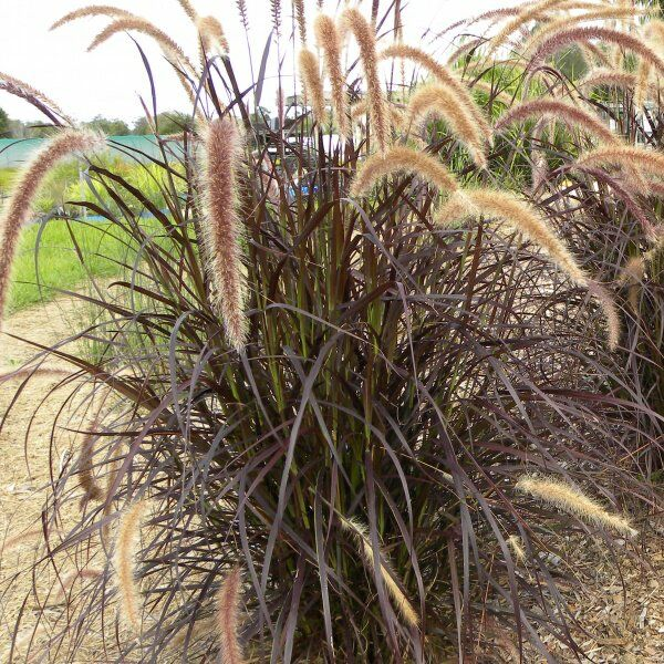 australian grassy perennial border - Google Search
