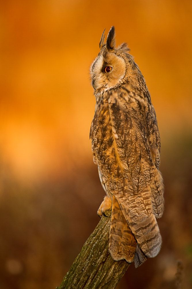 Long-eared owl at Sunset